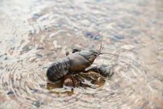Alive crayfish. Stock Photo
