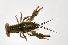 Alive crayfish  on white background Royalty Free Stock Images