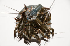 Alive crayfish  on white background. Live crayfish closeup, fresh crayfish. Beer snacks, river crayfish Stock Photos