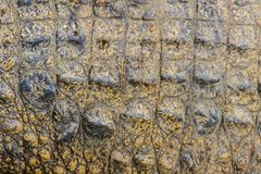 Alive crocodile skin pattern from the living body for background Royalty Free Stock Images