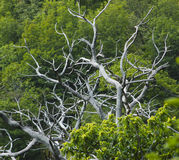 Alive and dead branches of chestnut trees Stock Photography