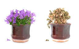 Alive and dead purple flowers in pot. Alive purple flowers and dried dead floers in brown vintage pot royalty free stock images