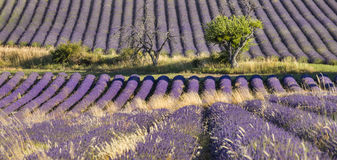 Alive and dead trees in lavender field. Alive and dead trees on the lavender field  in France Stock Photography