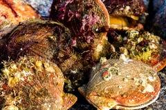 Alive and fresh Icelandic scallops Chlamys islandica on the coast of Barents sea, Arctic ocean