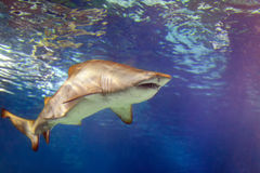 Alive large shark swims in  water Stock Photos