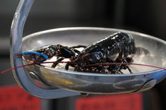 Alive lobster being weighed. In the seafood market in Marseille, southern France Royalty Free Stock Photo