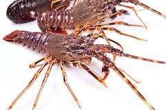 Alive Lobster red and Blue. Lobster placed on a white background Stock Images