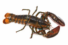Alive lobster Stock Image