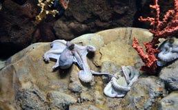 Alive octopus. On stone in aquarium Stock Photo