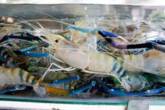 Alive prawns in the container. Alive prawns in the water container waiting for sales royalty free stock images