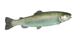 Alive rainbow trout Royalty Free Stock Photo