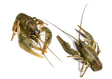 Alive river crawfish Stock Images