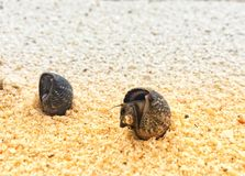 Alive seashell on sand at seaside in the summer day. royalty free stock image