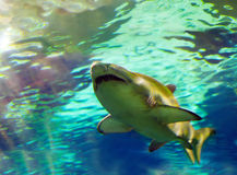 Alive shark Royalty Free Stock Image