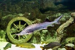 Alive sturgeon in the aquarium. stock photos