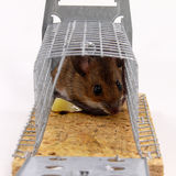 Alive trapped mouse Royalty Free Stock Image