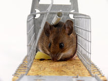 Alive trapped mouse Stock Photography