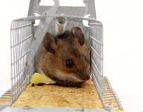 Alive trapped mouse Royalty Free Stock Photos