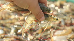 Alive White-leg shrimp form shrimp farming in pond stock video footage