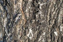 Alivio natural y textura áspera de la corteza del abedul viejo Fotografía de archivo