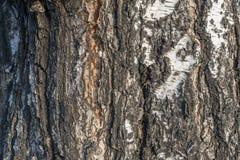 Alivio natural y textura áspera de la corteza del abedul viejo Fotografía de archivo libre de regalías