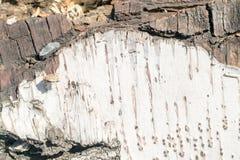 Alivio natural y textura áspera de la corteza del abedul viejo Imagenes de archivo