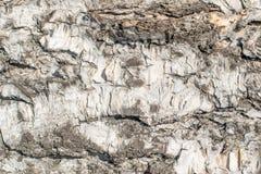 Alivio natural y textura áspera de la corteza del abedul viejo Fotos de archivo libres de regalías