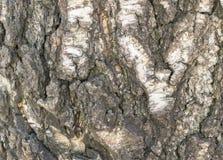 Alivio natural y textura áspera de la corteza del abedul viejo Foto de archivo