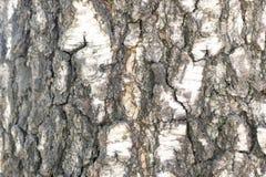 Alivio natural y textura áspera de la corteza del abedul viejo Fotos de archivo