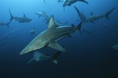 Aliwal浅滩印度洋南非游泳在海洋的黑鳍鲨(真鲨属limbatus) 库存照片