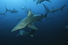 Aliwal Shoal Indian Ocean South Africa blacktip sharks (Carcharhinus limbatus) swimming in ocean stock photos