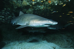 Aliwal tłumu oceanu indyjskiego Południowa Afryka piaska tygrysi rekin w jamie (Carcharias taurus) Zdjęcie Royalty Free