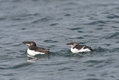 Alk, Razorbill, Alca torda stock photos