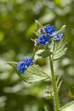 Alkanet verde Fotos de Stock Royalty Free