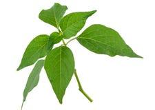 Alkekeng физалиса Зеленая ветвь стоковые изображения
