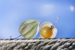 Alkekengi et fruit à l'arrière-plan bleu Photographie stock libre de droits