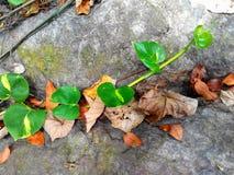 Alkline betlu drzewo Obrazy Royalty Free