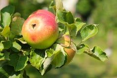 Alkmene苹果树(早期的温莎)用果子在奥地利 免版税库存照片