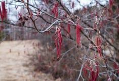 Alknoppar blommar i vår i mars som är röd, makro royaltyfri fotografi