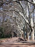 Allée avec de hauts arbres blancs Photo stock