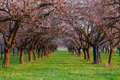 Allée d'abricot au printemps Image libre de droits