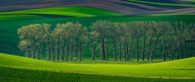 Allée d'arbres de peuplier au printemps Photographie stock
