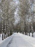Allée de bouleau en parc d'hiver de Novosibirsk image stock