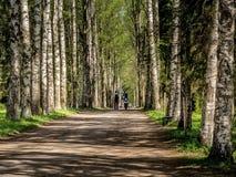Allée de bouleau en parc un ressort Sunny Day photos libres de droits