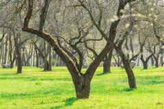Allée de verger pendant le printemps tôt Image stock