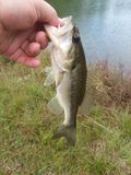 All about  that Bass. All bass big mouth fishing stock photo