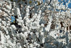 A tree covered with white flowers royalty free stock photography