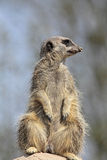 All Clear To The Left. Meerkat lookout, checking to the left Royalty Free Stock Image