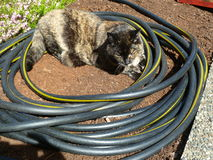All coiled up and ready to sleep. Female tortoise shell feline curled up inside of coiled up hose royalty free stock photo
