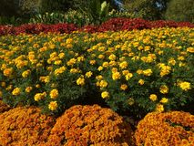 Red yellow orange flowers royalty free stock photo